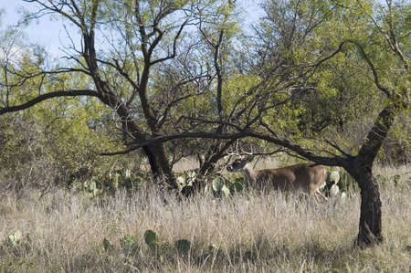 whitetail deer in the west Texas desert