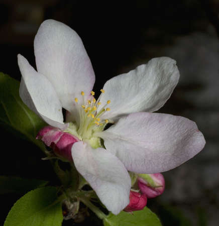 flower on an apple tree in early spring photo
