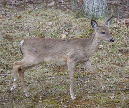 whitetail button buck wandering out of the woods Фото со стока