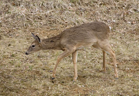 sneak: wet deer trying to sneak out of the meadow Stock Photo