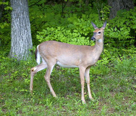 whitetail deer: whitetail deer near the edge of a summers woods Stock Photo
