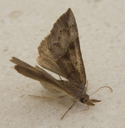 landed: moth that has landed on a bathroom counter Stock Photo