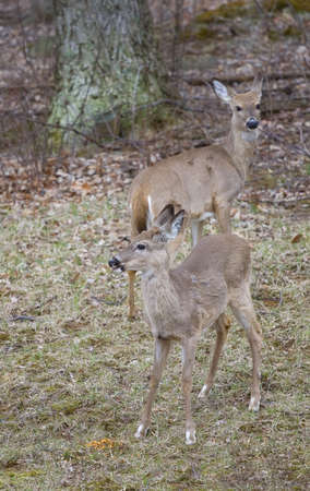 hardwoods: a pair of whitetails coming from a hardwoods forest Stock Photo