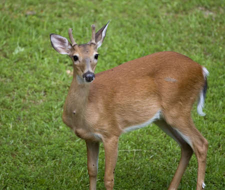 young whitetail deer male with his antlers growing