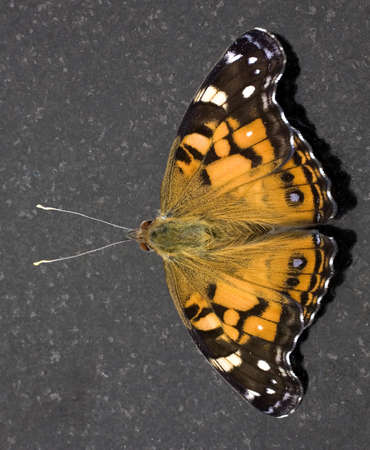yellow and black butterfly on a granite slab Фото со стока