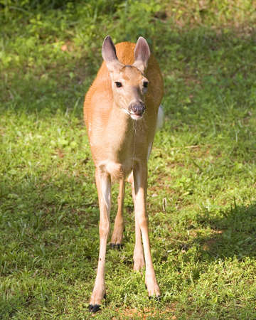 whitetail deer: whitetail deer doe drooling over her corn