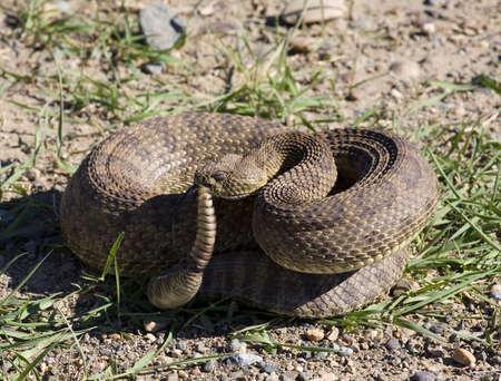 대초원 방울뱀은 희생자를 사이징하다.