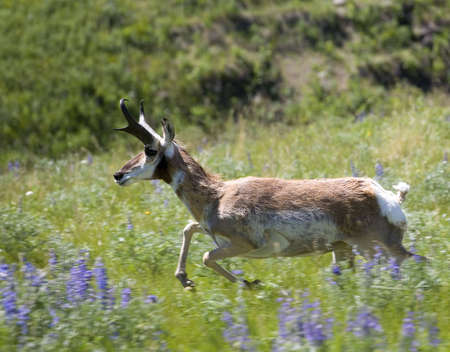 pronghorn antelope at a full spring in spring Stock Photo - 3318017