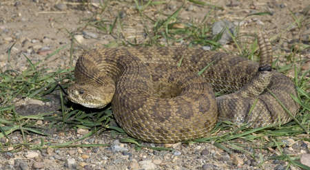 prairie rattlesnake tossing its forked tongue around photo