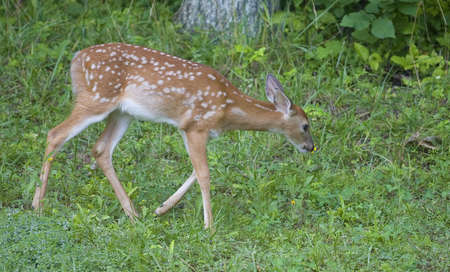 whitetail deer fawn thats stopped to smell a flower