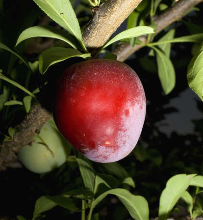 strobist: plum that is ripening at dusk in summer Stock Photo