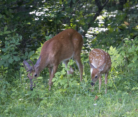 a fawn and a buck whitetail are looking for food 版權商用圖片