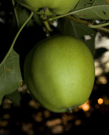 strobist: golden delicious apple on a tree at sunset