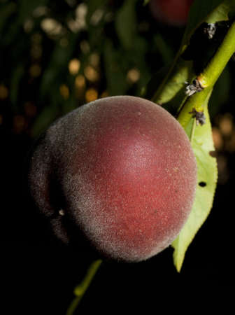 strobist: peach ripening on the tree at sunset