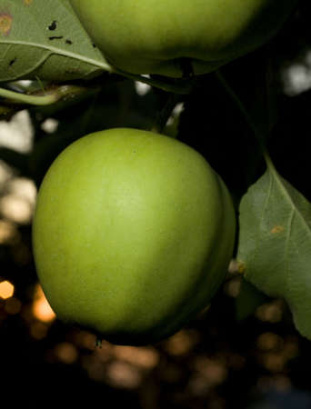strobist: golden delicious apples ripening as the sun goes down Stock Photo