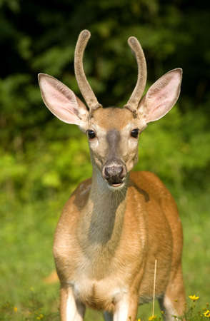 young whitetail buck in velvet with flowers Stock Photo - 3448427