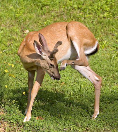 whitetail buck in velvet scratching at the flies Stock Photo - 3448425