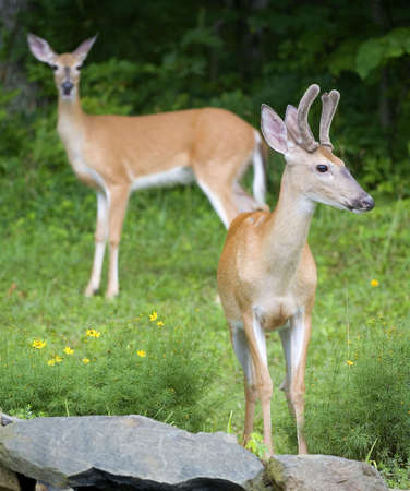 young buck in velvet with a doe in the background Stock Photo - 3472204
