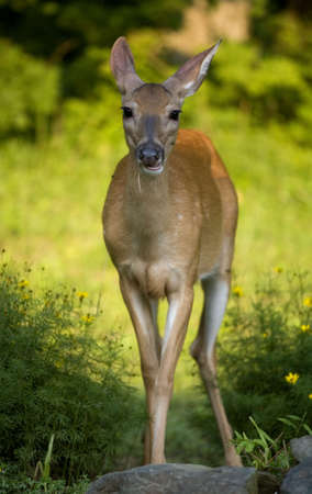 whitetail doe chewing on a piece of straw Imagens