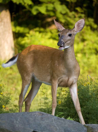 wagging: whitetail deer doe thats wagging her tail