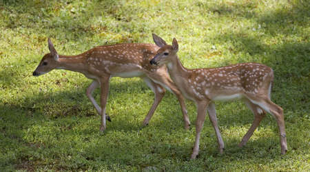 a pair of whitetail fawns looking for food