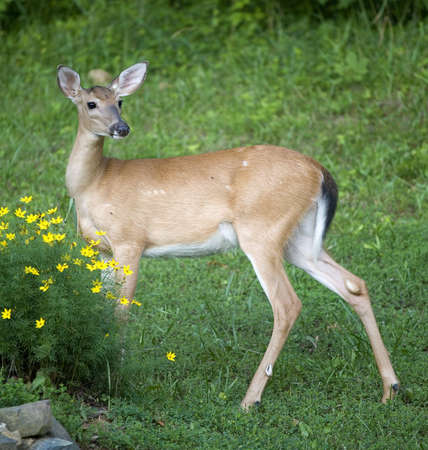 whitetail doe about to eat garden flowers