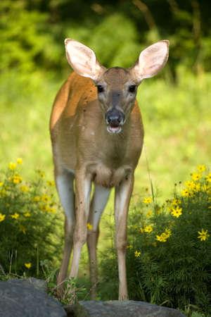saliva: whitetail doe with saliva on her lower lip