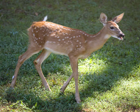 catch up: whitetail deer fawn trying to catch up with others