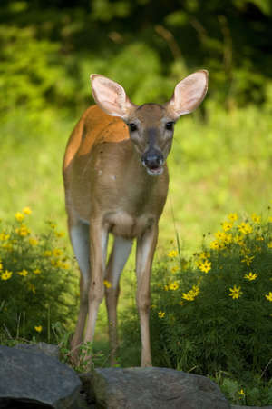 drool: whitetail doe in flowers thats drooling