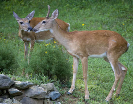 two whitetails rubbing noses in the spring Stock Photo - 3528961