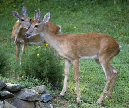 young pair of whitetail deer that are in  Stock Photo