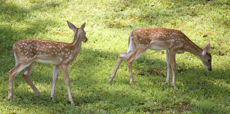a pair of whitetail fawns in early morning