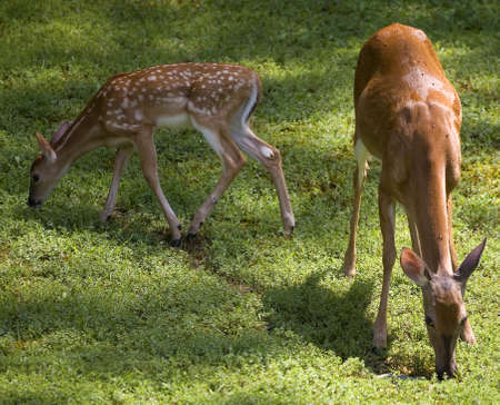 doe and a fawn eating in early morning 版權商用圖片