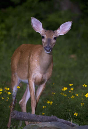 strobist: whitetail doe coming in at night to eat Stock Photo