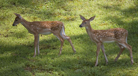 a pair of whitetail deer fawns with spots
