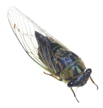 strobist: cicada thats been photographed on a white background Stock Photo