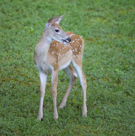 whitetail fawn in an early morning field