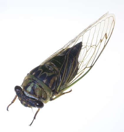 a winged insect known as a cicada