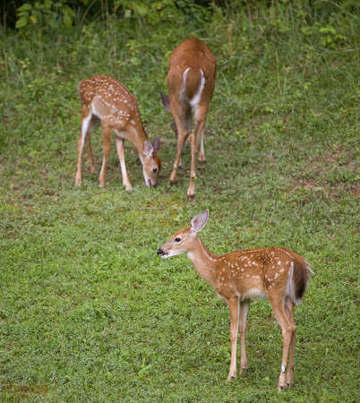 A whitetail doe and two fawns on green 版權商用圖片 - 3608595