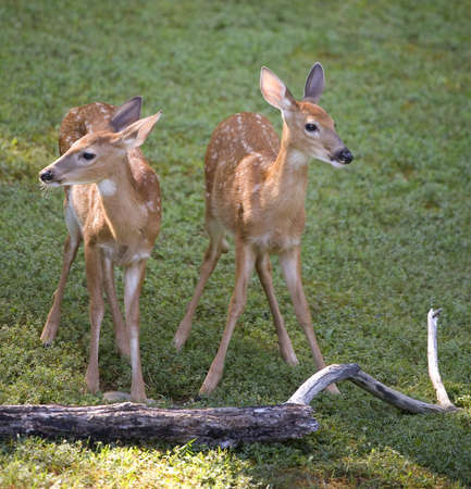 a pair of whitetail fawns looking opposite directions