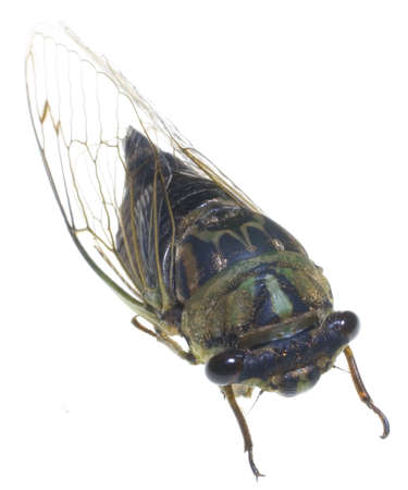 cicada that has been photographed on white 版權商用圖片