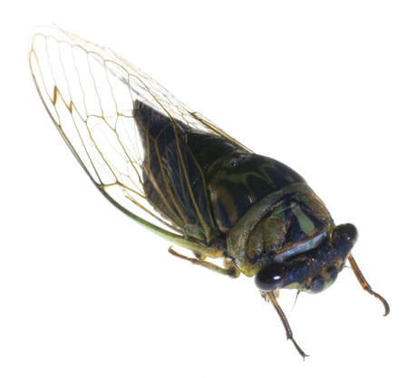 big cicada thats been photographed on white