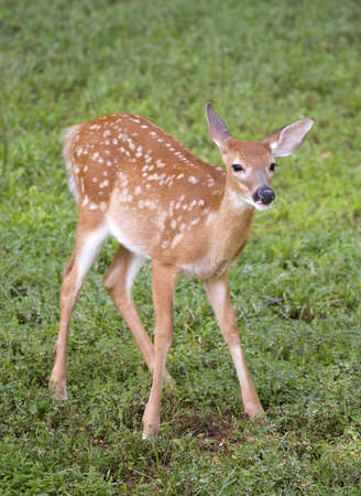whitetail deer fawn with spots on a grassy field photo