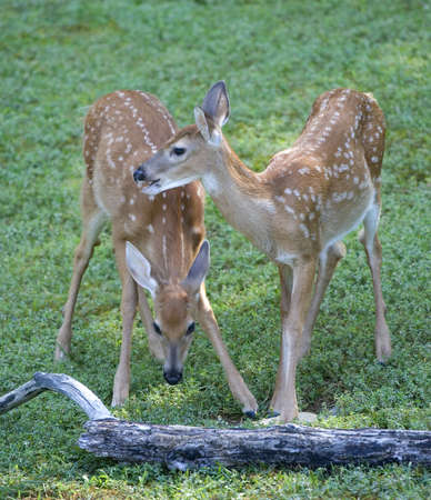a pair of whitetail fawns eating a morning meal