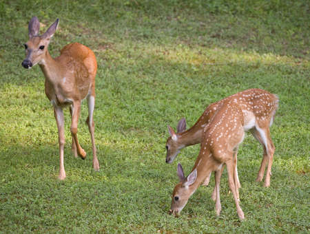 whitetail doe watching over fawns as they eat Stock Photo