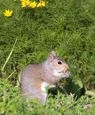 squirrel getting ready to eat a spring meal Banco de Imagens