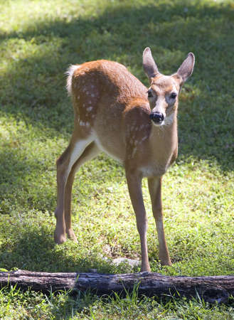 whitetail fawn on the lookout for an easy meal