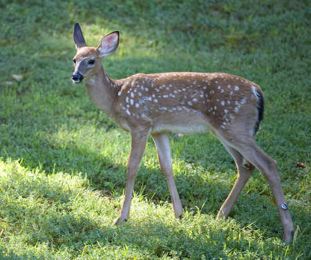 whitetail deer fawn with some wiild eyebrows
