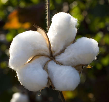 cotton that is nearly ready to be harvested