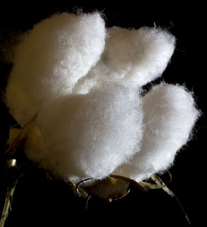 cotton crop: cotton bowl with a big crop for fall